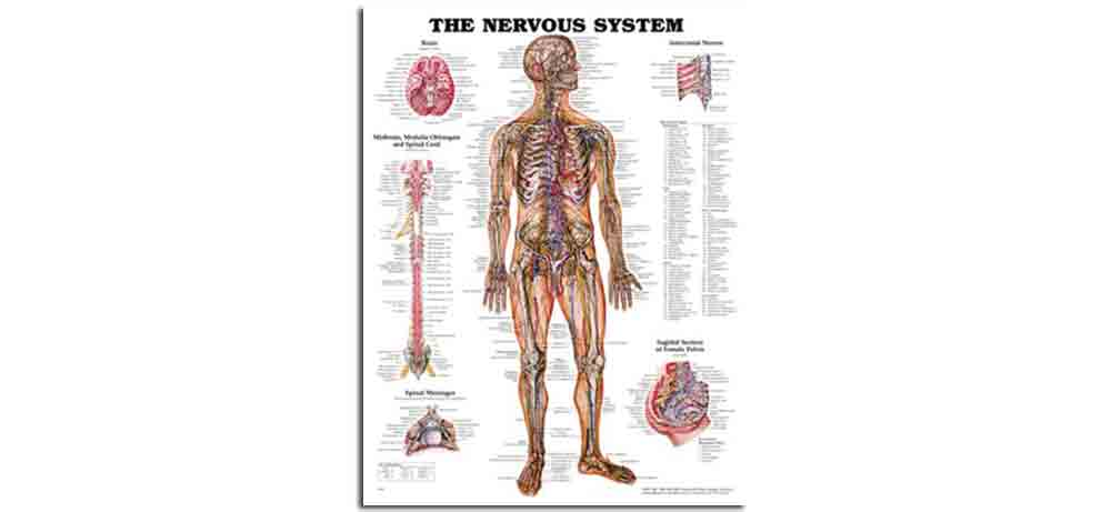 Nervous System Chart Hard Laminate Firm N Fold